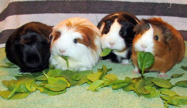 Conejillos de indias comiendo su plantas