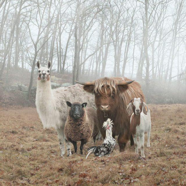 Un conjunto de animales de granja reunidos