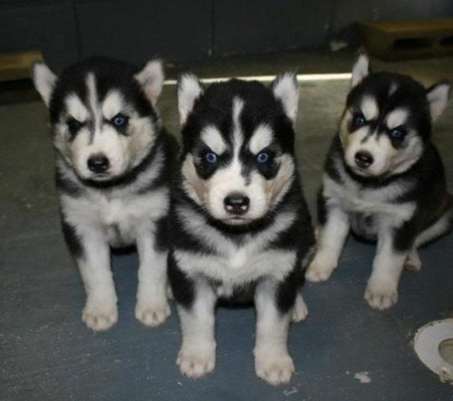 Cachorros de husky retratados
