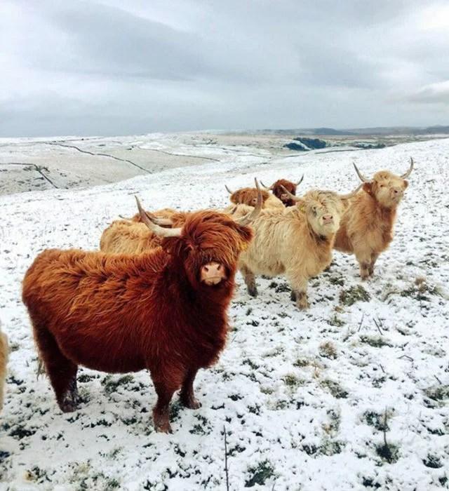 bisontes con viento que mueve sus pelajes