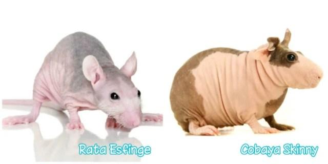 cobaya y rata sin pelo