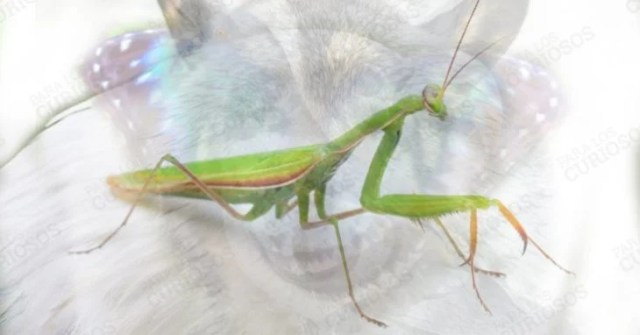 mantis religiosa animal insecto