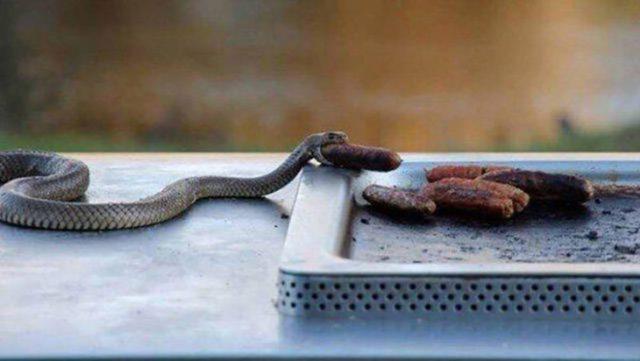 Serpiente comiendo salchichas asadas