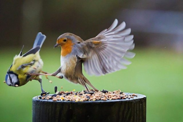 pájaro ataque