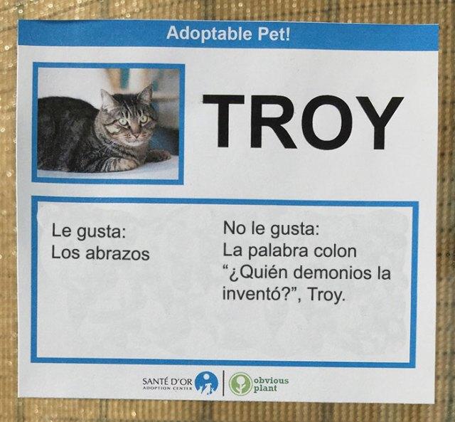 troy gato descripción gato en adopción