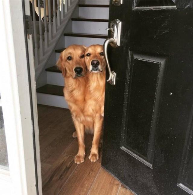 Perro de 2 cabezas