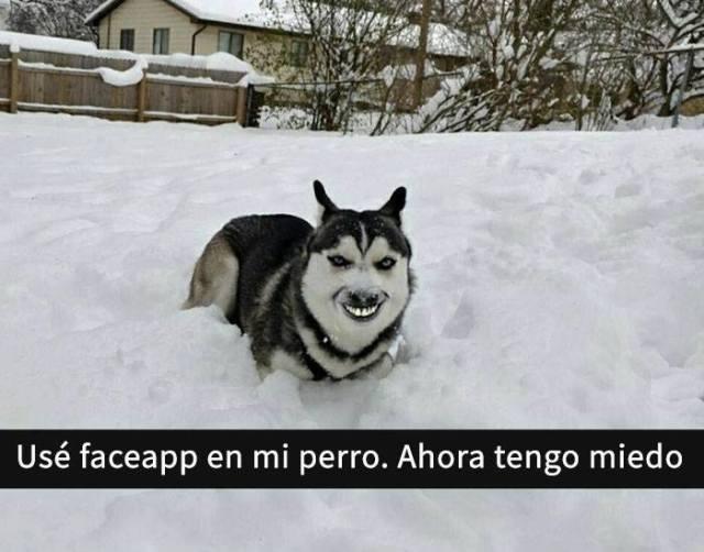 Snaps perritos - husky face swap