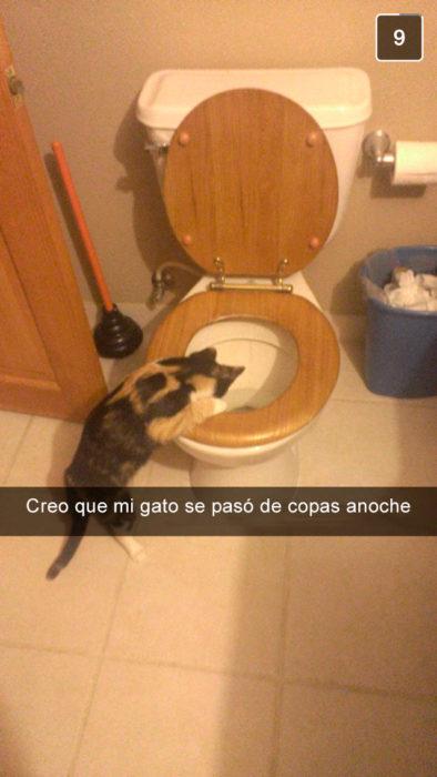 gato vomitando