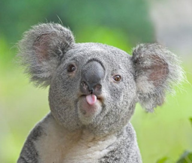 koala saca la lengua