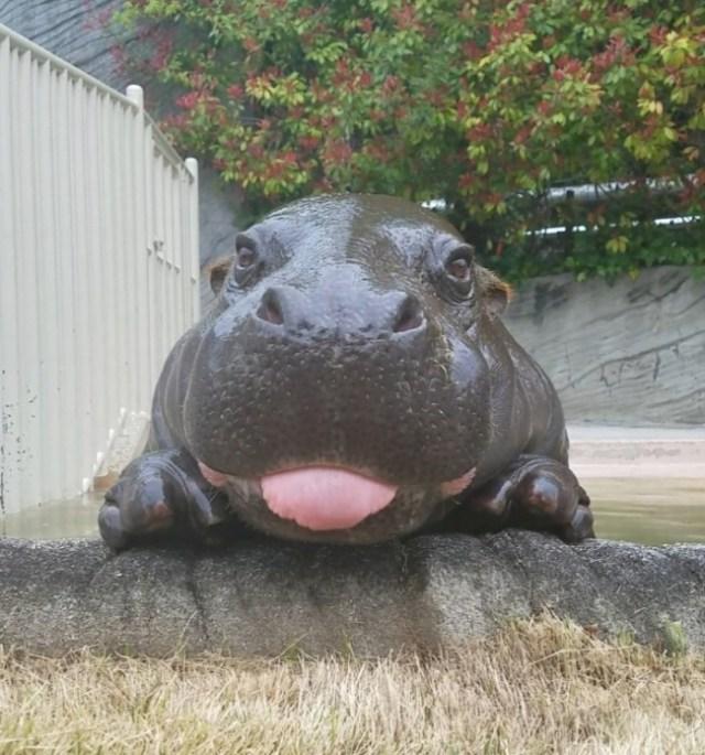 hipopótamo lengua hola