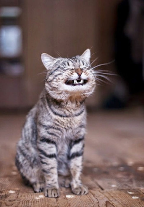 Gatos tiernos risa malvada