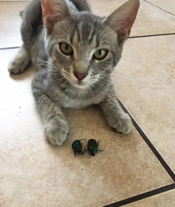 Gato escarabajo regalo