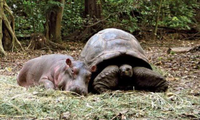 tortuga e hipopótamo amigos