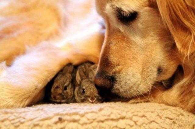 perrito cuidando conejos