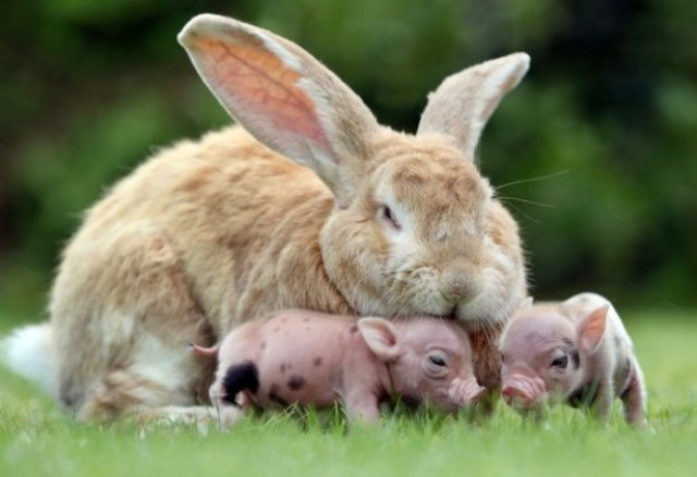 conejo criando cerdos