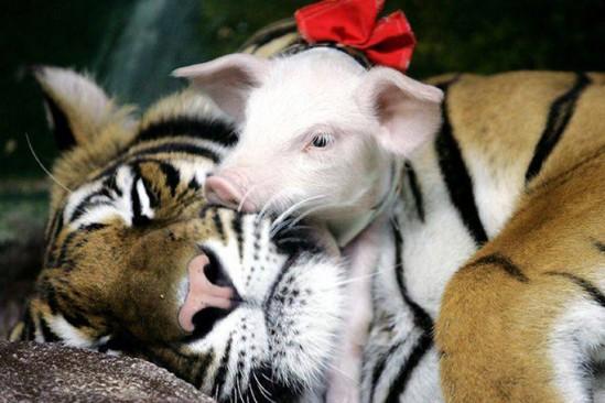 cerdito con tigre