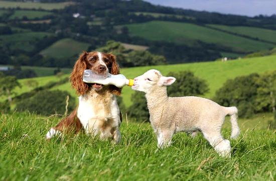 perrito cuidando oveja