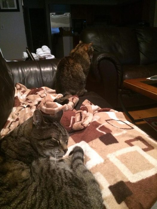 gatos enojados celosos