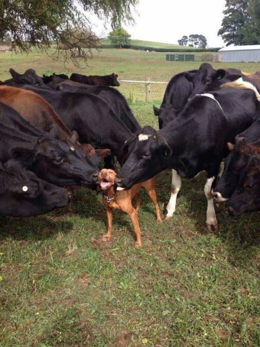 las vacas asimismo adoran a los perros