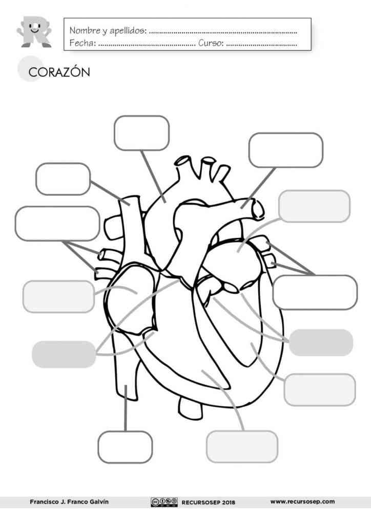 El Corazón Láminas Para El Aula Y Fichas Para El Alumno Esen