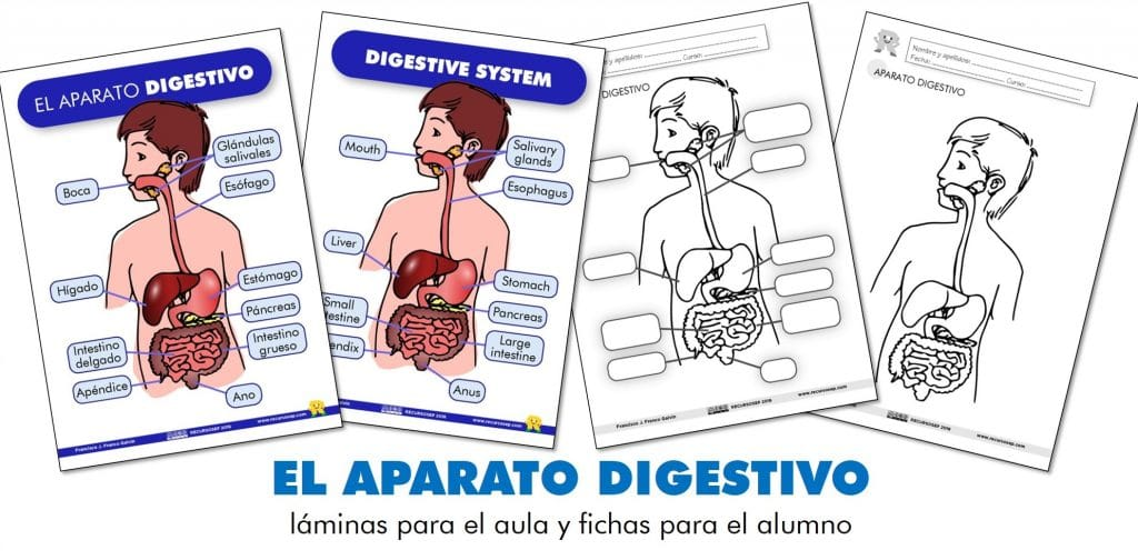 EL APARATO DIGESTIVO: láminas para el aula y fichas para el alumno (ES/EN)