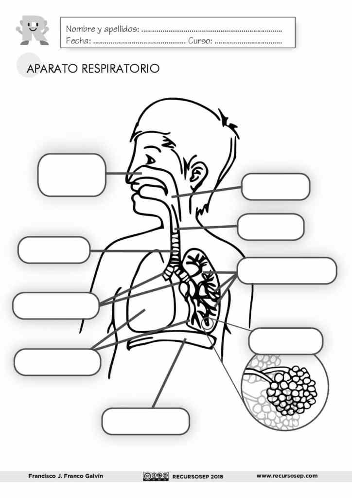 El Aparato Respiratorio Láminas Para El Aula Y Fichas Para El