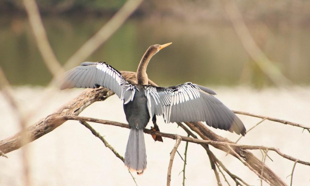 Horacio Matarasso observó 56 especies en el Parque Ecológico de Tieté, San Pablo, Brasil. Entre ellas, la Anhinga americana (foto).
