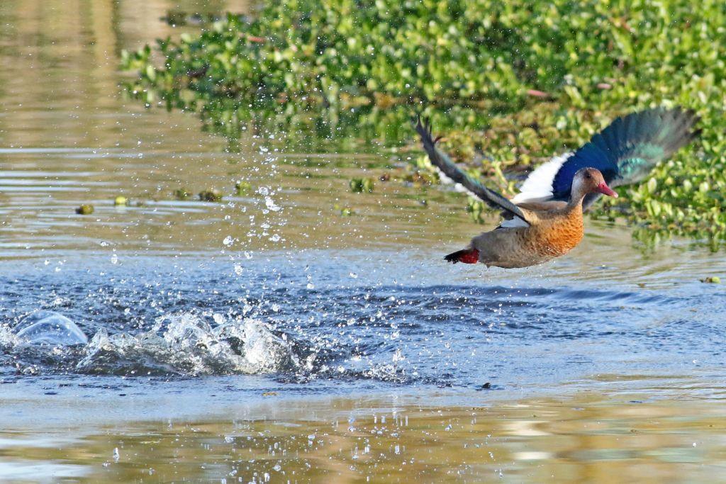 Simón Tagtachian y tres amigos hicieron avistajes en la Reserva Ecológica Costanera Sur, en la Ciudad de Buenos Aires. El pato brasileño fue una de las 106 especies que identificaron.
