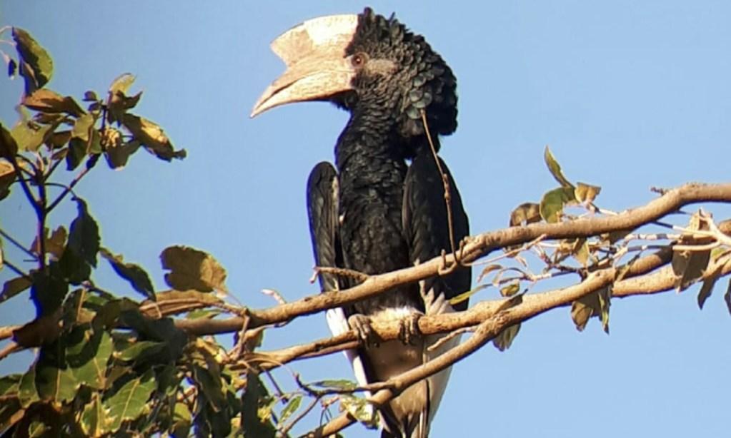 Horacio Matarasso y otros 7 argentinos conocieron el Jardín Botánico Entebbe, en Ruanda. Entre las 35 especies, quedaron sorprendidos por un calao de cresta.