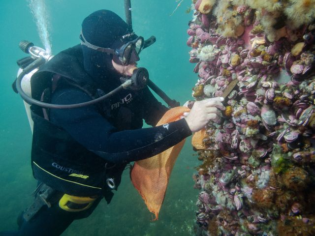 Buzo recolectando Ostras Japonesas (Crassostrea gigas) en pilote de puerto en Puerto Madryn