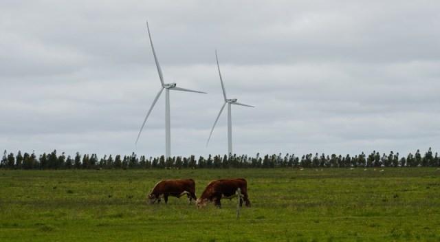 Vacas pastan en un campo en Uruguay.