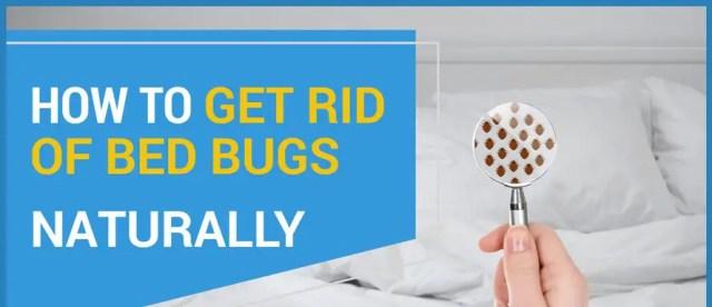 se débarrasser des punaises de lit | la lavande repousse-t-elle les punaises de lit