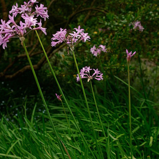 Pink Agapanthus | Plants That Repel Snakes
