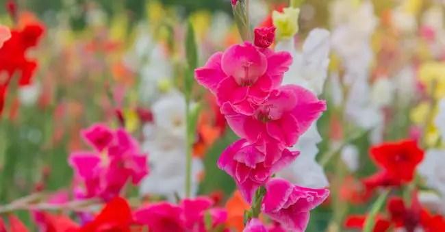 August has the birth flower Gladiolus