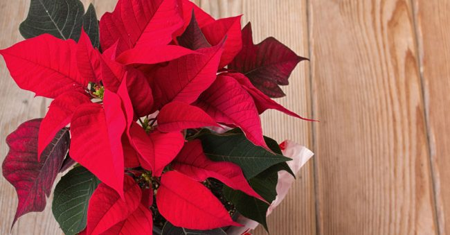December has the birth flower Poinsettia