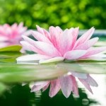 YOGA AND HINDUISM: THE LOTUS FLOWER