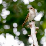 NIGHTINGALE SYMBOLIC MEANING