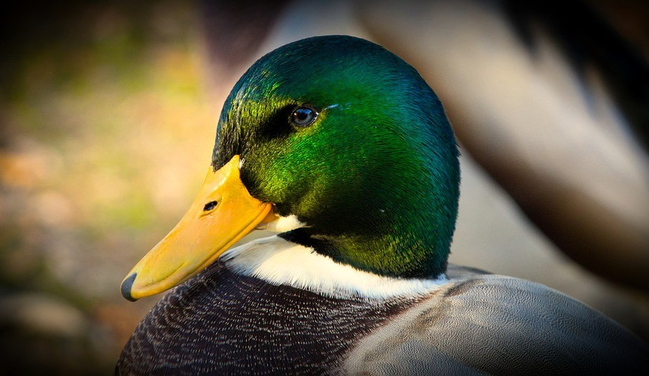 Prophetic And Spiritual Meaning Of Ducks