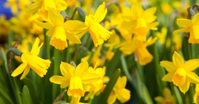 To March belongs the daffodil