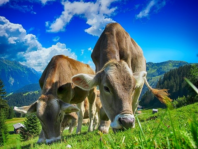 Prophetic Meaning Of Cows In The Bible