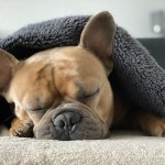 When To Euthanize A Dog With Hemangiosarcoma?
