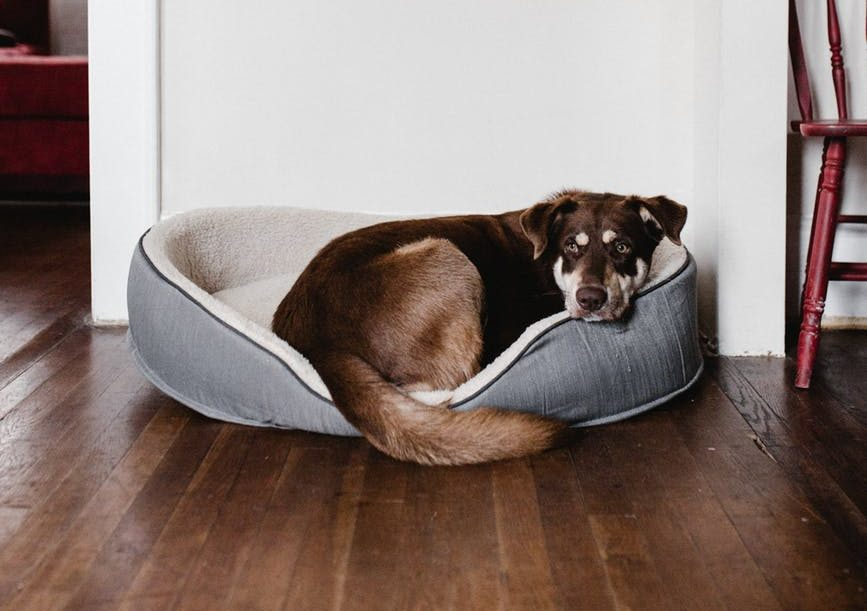When To Put A Dog Down With Cushing's Disease