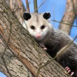 How to keep possums out of the vegetable garden