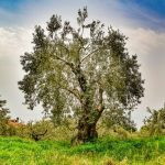Significance Of Olive Tree In Bible