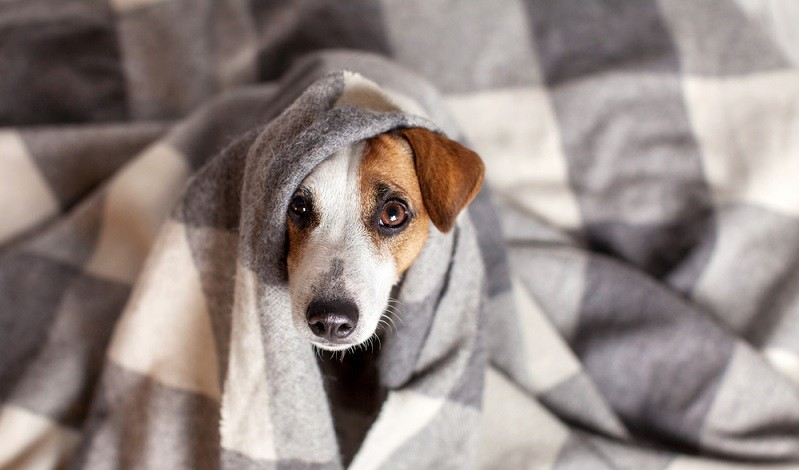Dog is flabby: colds are not uncommon in dog diseases