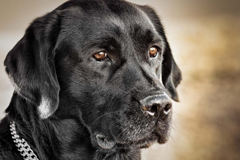 How Much Does A Black Labrador Cost - The true about the costs