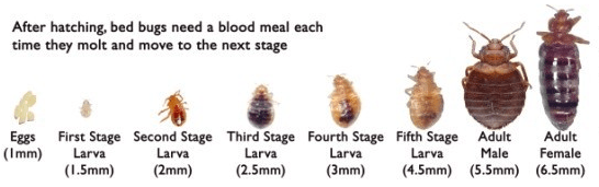 Red Bed Bugs Life Cycle Sizes Types Red Bed Bugs