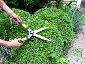 how to prune a boxwood