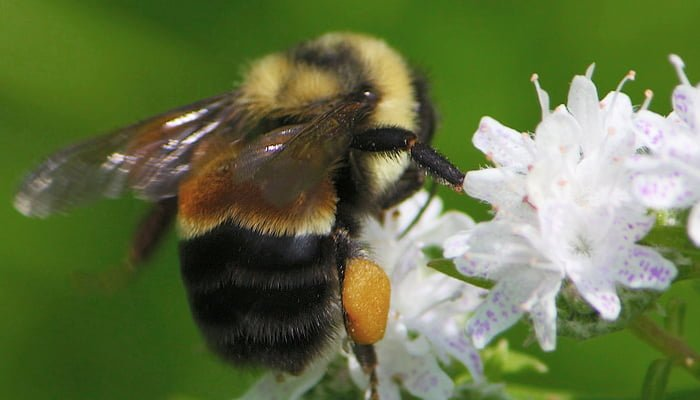 Bumble Bee Endangered: Bee Friendly Plants