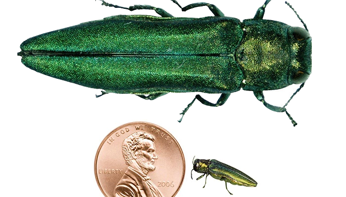 Insect & Pest Control: Help Fight Against the Emerald Ash Borer